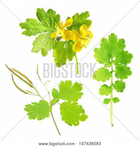 Greater celandine or tetterwort (Chelidonium majus) isolated on white background. Plant with flowers and green leaf