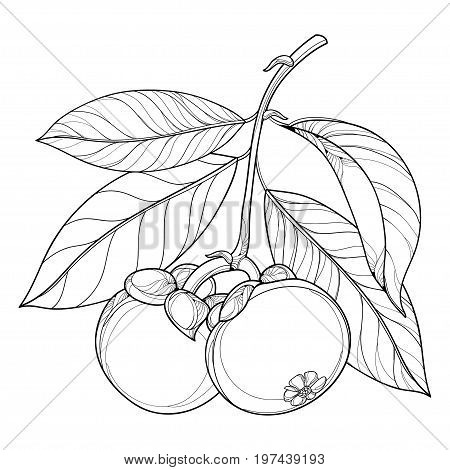 Vector branch with outline Purple Mangosteen or Garcinia mangosteen fruit and leaf in black isolated on white background. Exotic tropical fruit in contour style for summer design and coloring book.