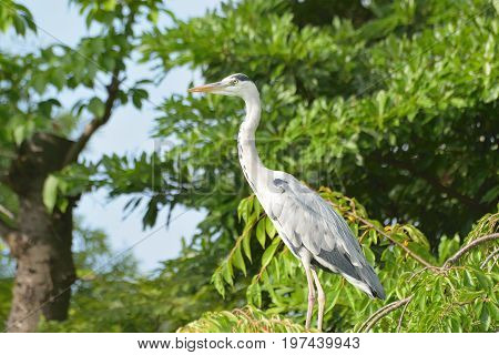 Migrating Japanese Crane in a garden during Summer