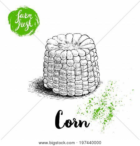 Hand drawn sketch style corn vegetable. Boiled farm fresh sweet corn. Organic cereal vector illustration. Sweetcorn food.