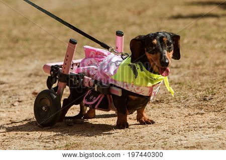 ATLANTA, GA - MARCH 2017: A dachshund with paralyzed hind legs wears attached wheels to get around at the Resuce Dog Olympics at Brook Run Park in Dunwoody GA on March 25 2017.