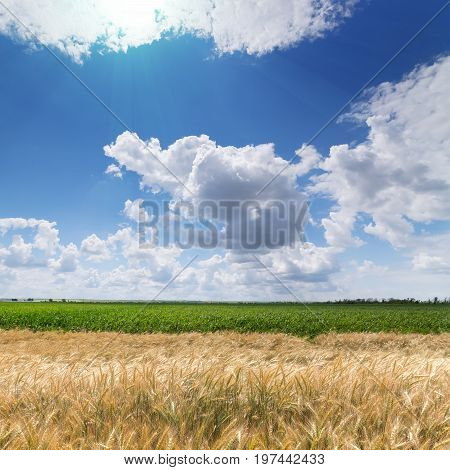 wheat field / wheat field on the background cornfield Ukraine