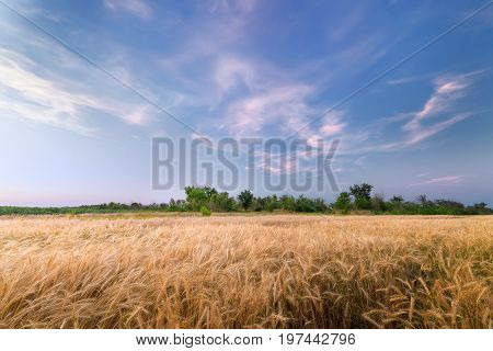 sunset wheat field / bright colorful sunset Ukraine far from the city