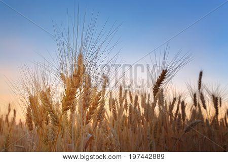wheat at sunset / evening photos sunset field of Ukraine