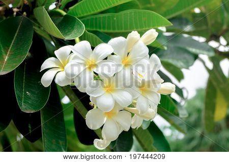 Plumeria Flowers blooming on the plumeria tree