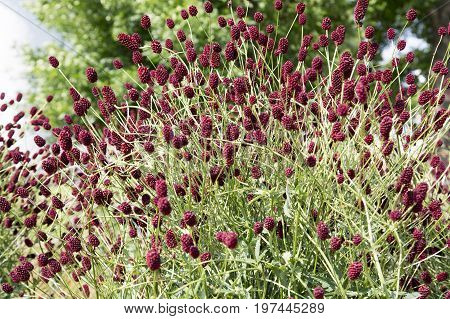 Sanguisorba officinalis. great burnet. Chinese Herbal Materia Medica by Dan Bensky Di Yu. the root is used to stop bloody dysentery nosebleeds and is applied topically to treat burns and insect