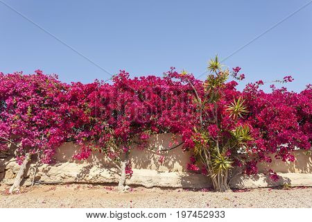 Beautiful pink bougainvillea flowers in southern Spain poster