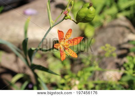 Closeup of ornamental plant Iris domestica, commonly known as lleopard flower .Has healing effects. Blurred background