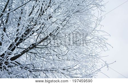 Tree Branches With Show And Frost, Winter