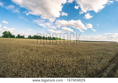 Summer sunny landscape on a fisheye wheat field