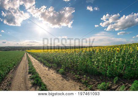Field of sunflowers on a summer day, a fisheye landscape