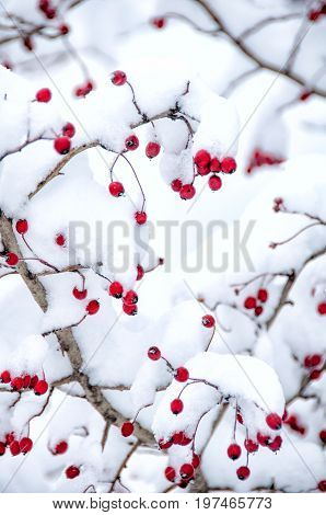 Hawthorn Berries Under Snow
