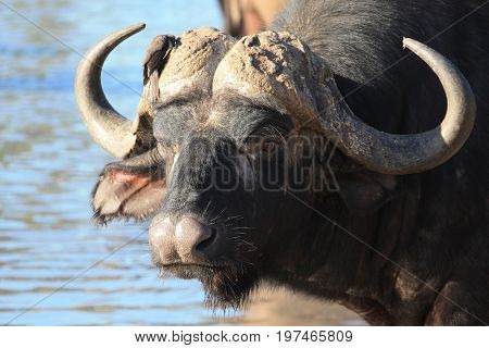 Bull African Buffalo with a bird on the horns at the waterhole.