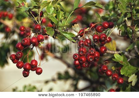 Red wild hawthorn berries on the branches. Hawthorn Hawthorn fruit Hawthorn berries.