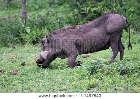 Warthog (Common Warthog) feeding. Delta Okavango Botswana