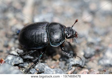This is on a dung beetle (Geotrupes stercorarius) gravel
