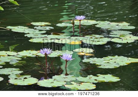 Aquatic plants with purple flowers in the lake