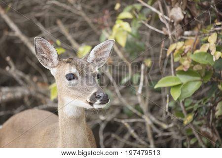 Close up of Key Deer at No Name Key - Key West Florida