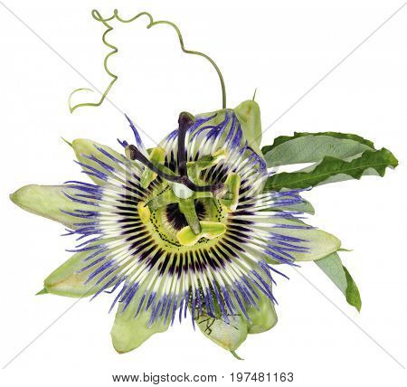 Passiflora caerulea, Common Passion Flower, is a vine native to South America known as the Mburucuya
