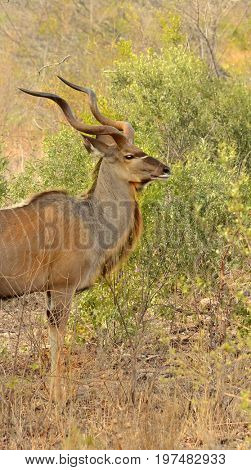 A large male Kudu seen in South Africa.