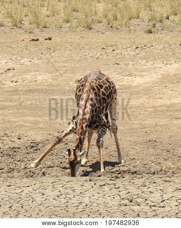 Giraffe trying to find water in the arid area of South Africa.