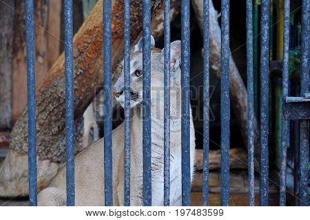 Wild Puma in the zoo beautiful view