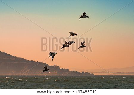 Brown pelicans flying over the Pacific Ocean at the San Francisco Bay with hills and Bay Bridge in the back ground at sunset.