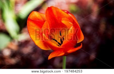 flowers, spring flowers, flowers concept, natural flowers, red flowers of the spring, yellwo flowers of the spring, flowers of the spring, red and yellow flowers with blurry background, spring flower, flowers in the park, closeup flowers,