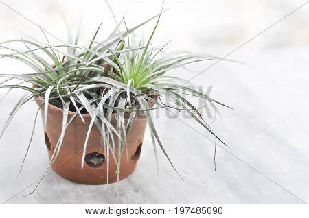 Tillandsia or Bromeliaceae plant on the floor