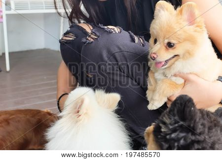 woman and Pomeranian dogs on the floor