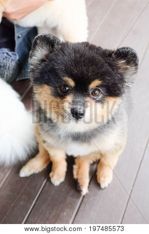 A pomeranian dog is sitting on the floor