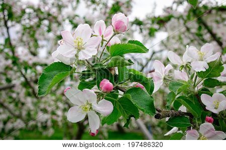 Beautiful Spring Blossoming Apple Trees