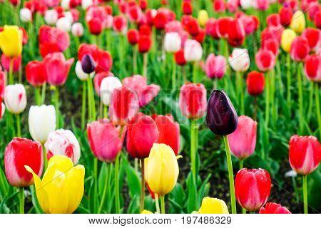 Tulip Flowers On The Field In Tohoku, Japan
