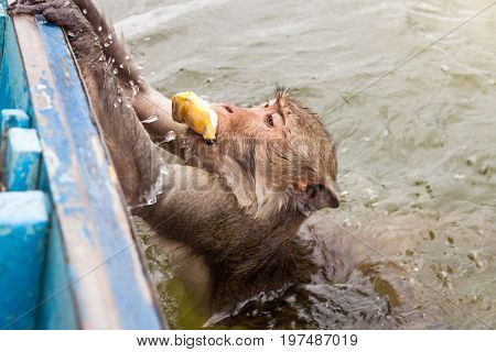 Monkey swimming to steal a banana and climb the boat.