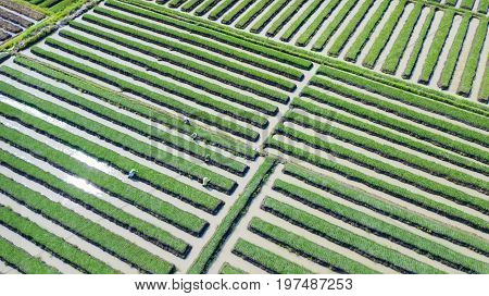 Beautiful top view of red onion farmer working at onion farmland. Shot in Brebes Central Java Indonesia