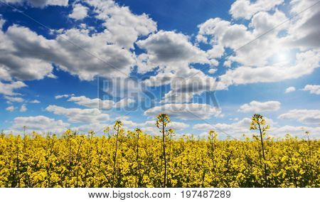 Sunset Sunrise Sky Over Spring Flowering Canola Rape Rapeseed Oilseed Field Meadow Grass. Close Up Of Blossom Of Canola Yellow Flowers Under Dramatic Dawn Sky