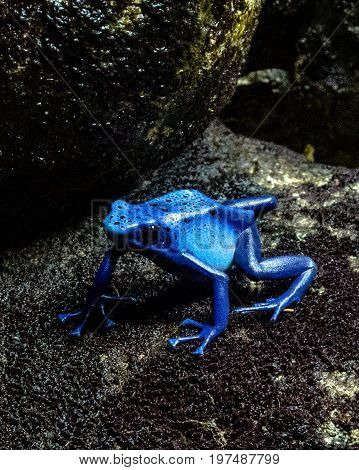 A blue Poison Dart Frog sits on a rock with dark background
