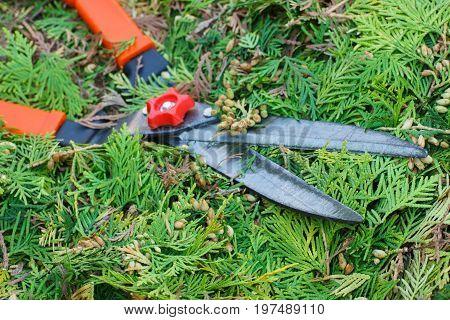 Gardening tool to trim hedge cutting bushes with garden shears seasonal trimmed bushes