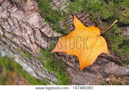 Yellow Autumn Leaf Fall On Natural Background