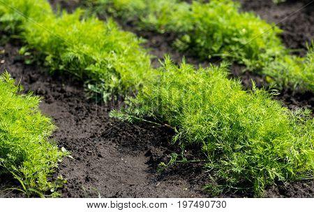 Carrots grow in the garden in nature.