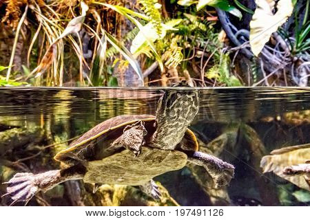 A Yellow-spotted Amazon River Turtle (Podocnemis unifilis) one of the largest river turtles in South America comes up for air while swimming