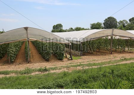 Greenhouse For The Cultivation Of Red Tomatoes In A Mediterranea