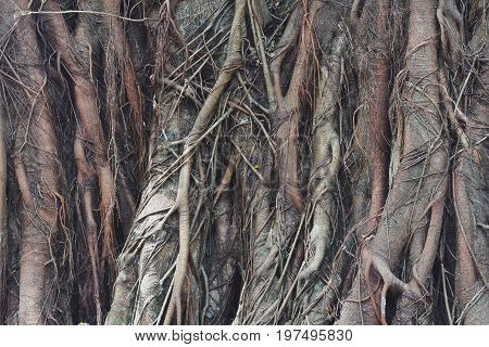 Big Tree Root Is Naturally A Beautiful Background With Very Roots..