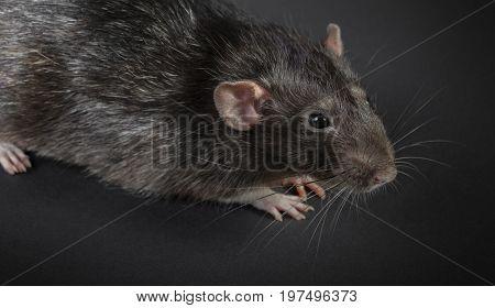 Animal gray rat close-up on a black background