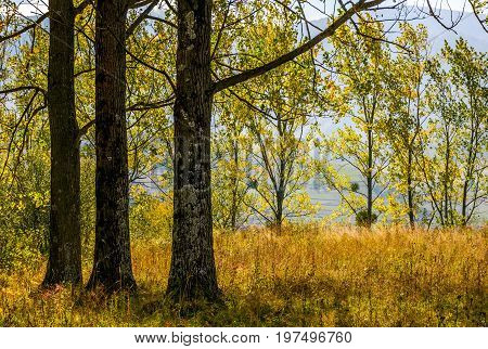 trees with yellow foliage. lovely autumn forest backgroud