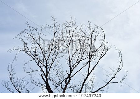 Dead tree sky background, Dry tree, dead tree with beautiful branch silhouette on white background. Suitable as reference for art and design work. Close up details of twisted tree branches.