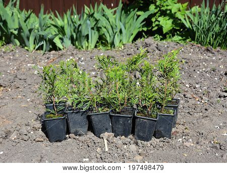 Planting Thuja. Planting Cypress tree saplings. Thuja Smaragd Pencil Cypress for Green Fencing.
