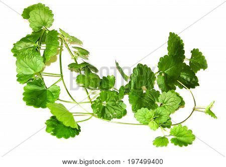 Composition Of Fresh Green Leaves Of The Ground Cover
