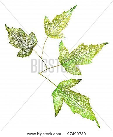 Dry Green Leaf Skeleton Macro Close Up Isolated