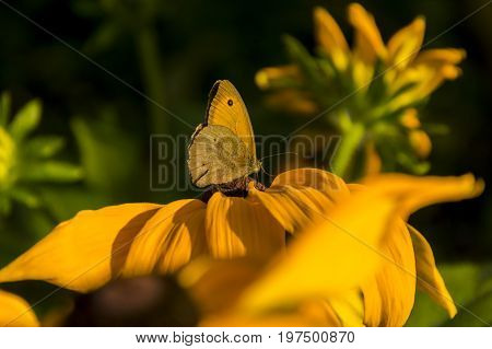 Yellow butterfly on yellow flower. Small butterfly sipping on a yellow flower A small butterfly sips nectar from a yellow flower. Close-up photo of butterfly on yellow flower.